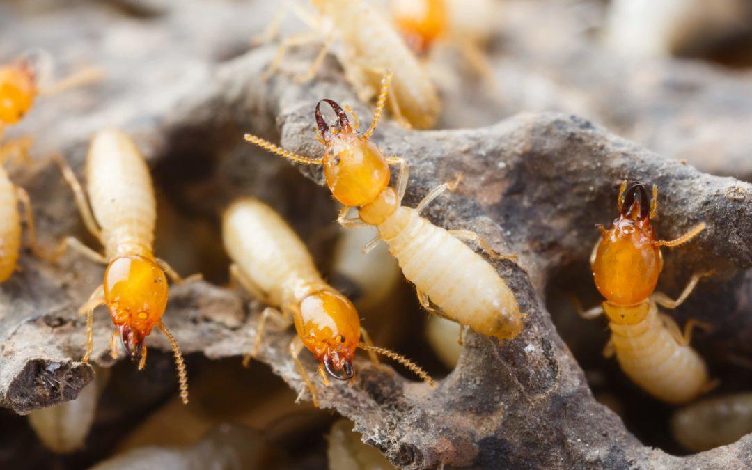 San Diego Termite Control using Termidor SC